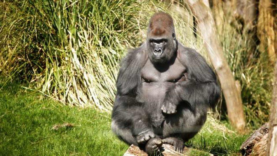 Kumbuka gorilla London zoo