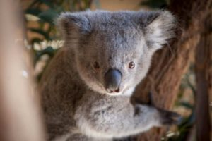 Willow the koala joey