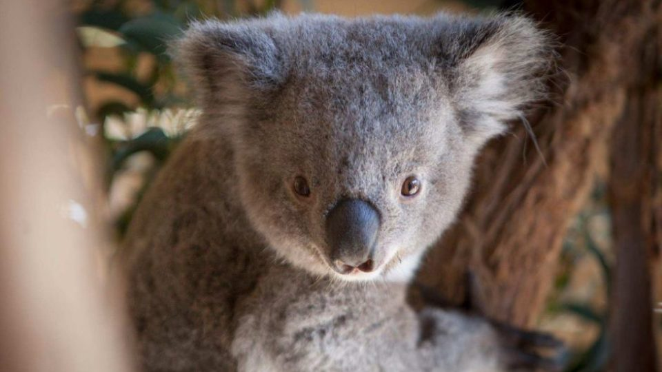 Koala joey And Butterfly Might Be Cutest Wildlife Park Video Ever