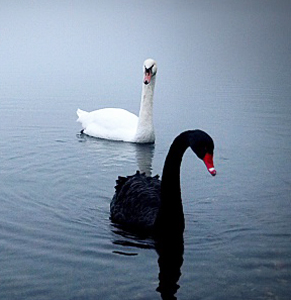Just because you've never seen a black swan (or a property market bust), doesn't mean it can't happen. Photo: Getty