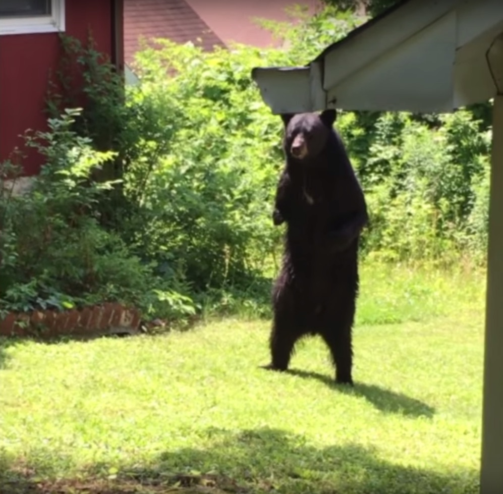 Pedals' the walking bear has been killed, reports