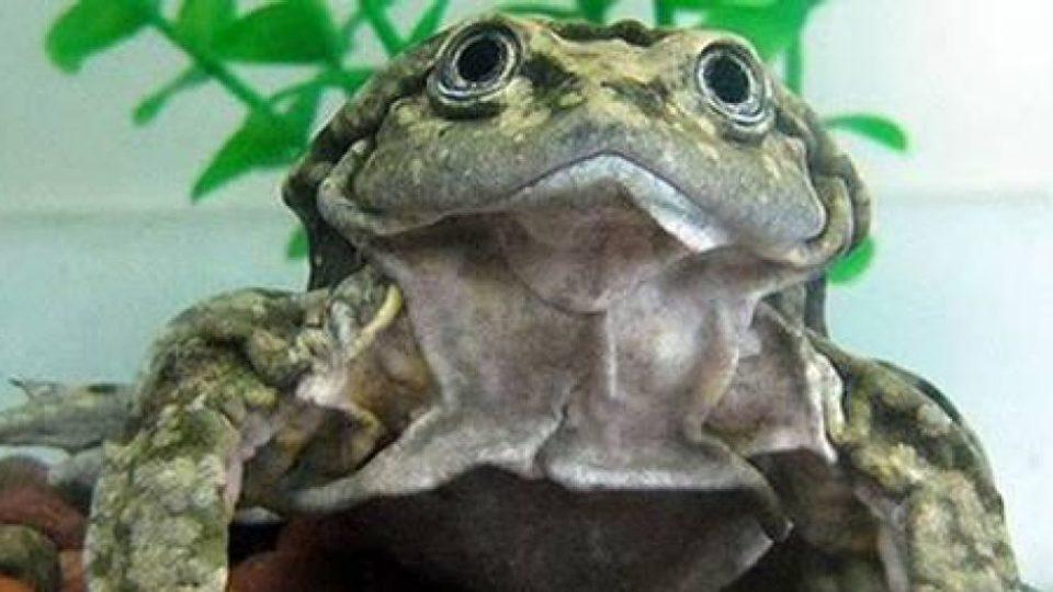 Scrotum frog Lake Titicaca