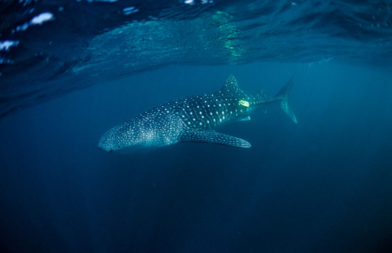 A tagged whale shark off the coast of Africa.