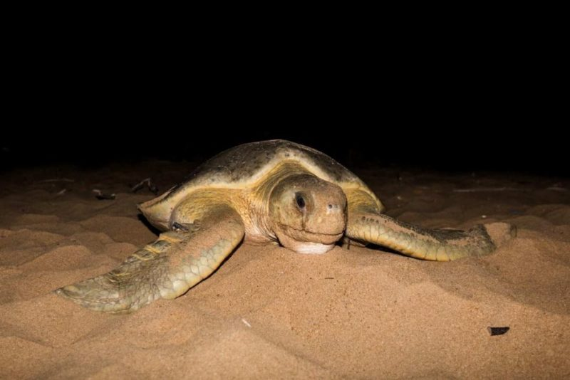 Mon Repos turtle