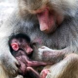 Mother cuddles newborn baboon