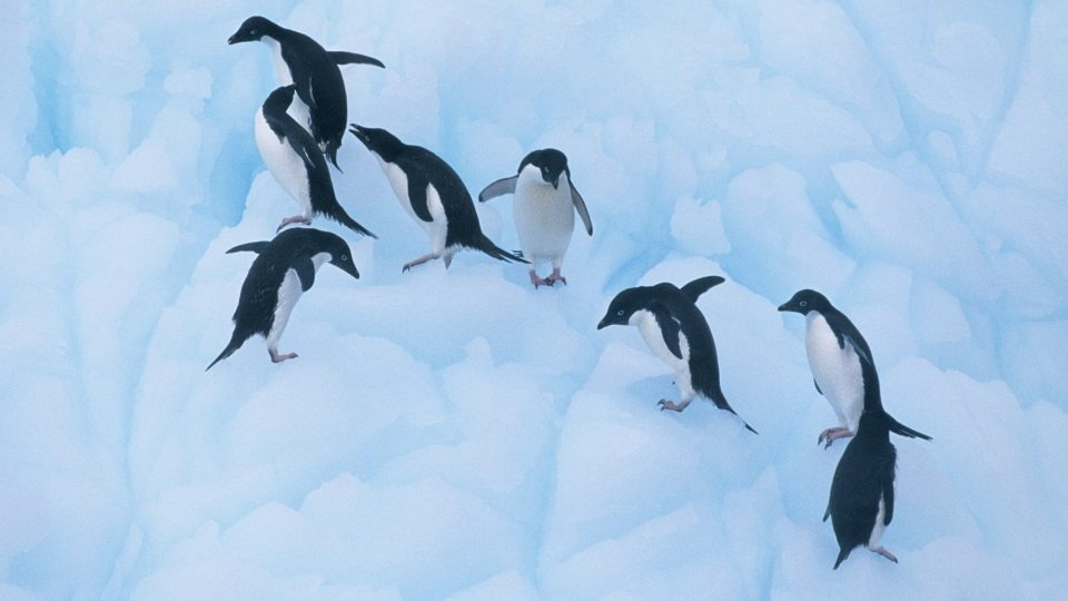 Penguin Finds Wife Cheating With Another Penguin, Brawl Ensues-9692
