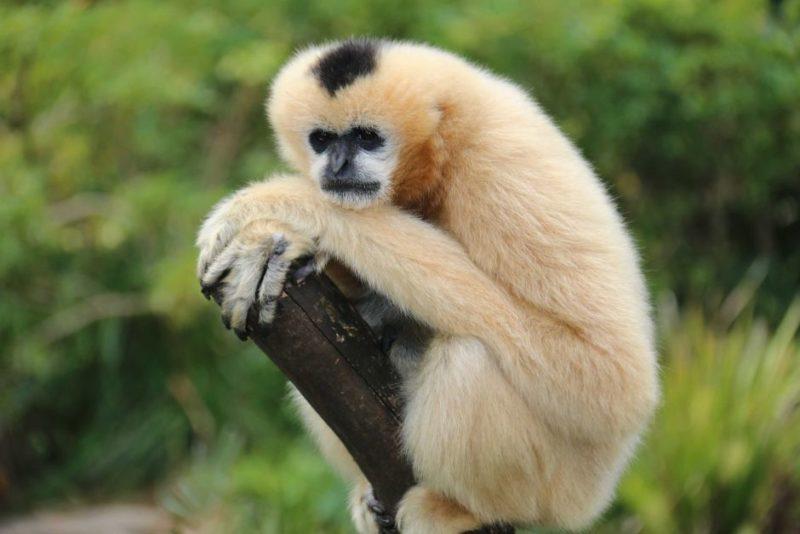 pregnant white cheeked gibbon