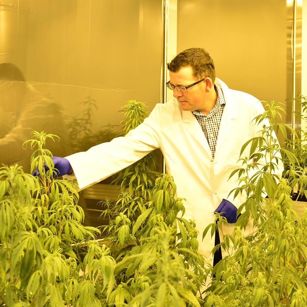 Daniel Andrews Medical Marijuana Legal Cannabis