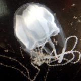 Irukandji jellyfish moving further sout