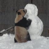 Toronto Zoo giant panda Da Mao