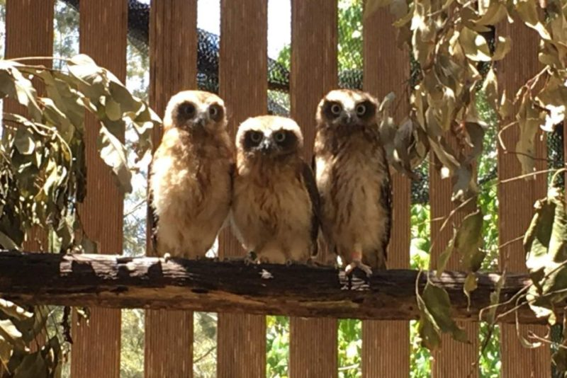 Southern boobook owls