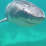 Great white shark esperance