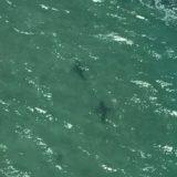 Shark sightings on Victorian coast