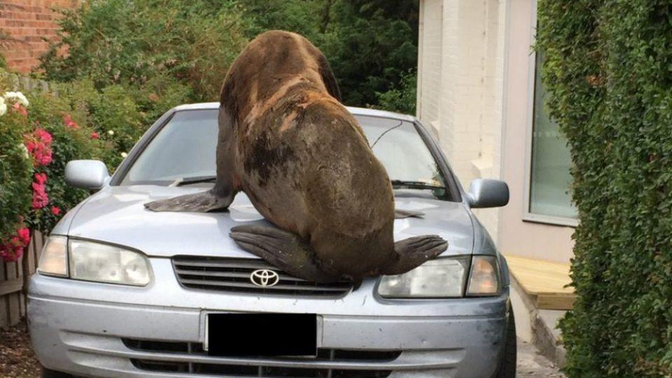 Tasmania seal on the loose