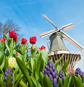 tulips netherlands holland