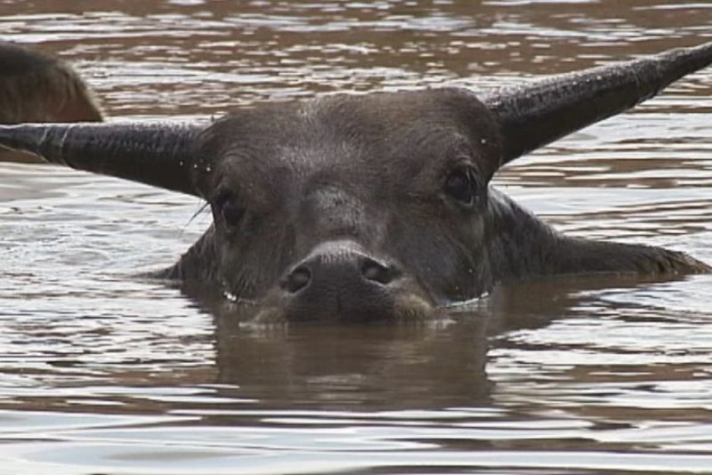 Water buffalo were brought into northern Australia in the 1800s and later colonised much of the top end of the NT.