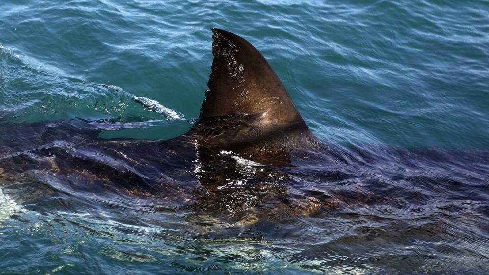 Shark spottings Victoria
