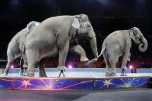 Ringling Barnum Bailey circus elephants