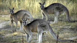 A towering male kangaroo left a personal trainer needing emergency surgery.