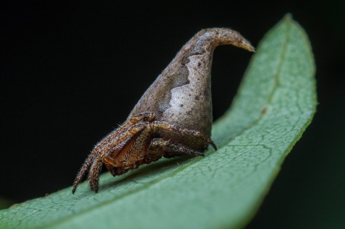 Eriovixia gryffindor