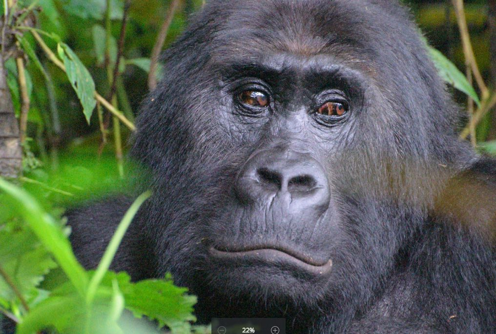 The Grauer's gorilla, found only in eastern Democratic Republic of Congo (DRC), has been up-listed to Critically Endangered. Photo: AJ Plumptre/WCS.