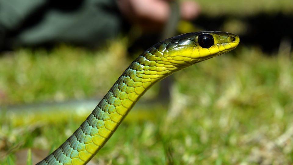 Green tree snake