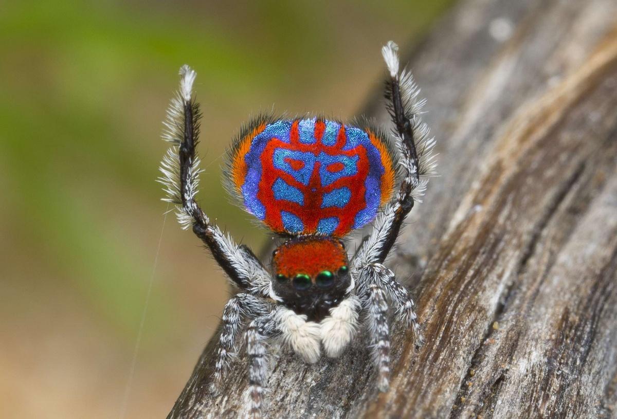 dancing peacock spider