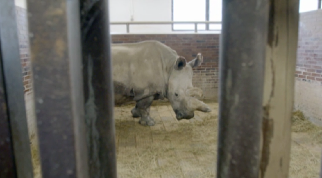 Nabire the white rhino was one of the last remaining of her kind. Photo: BBC