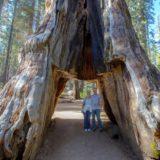 Pioneer Cabin Tree