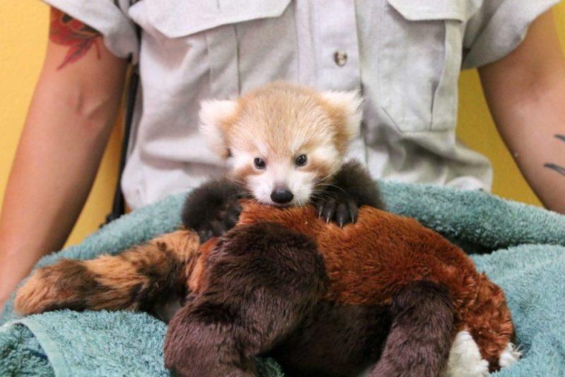 Red Panda's soft toy friend