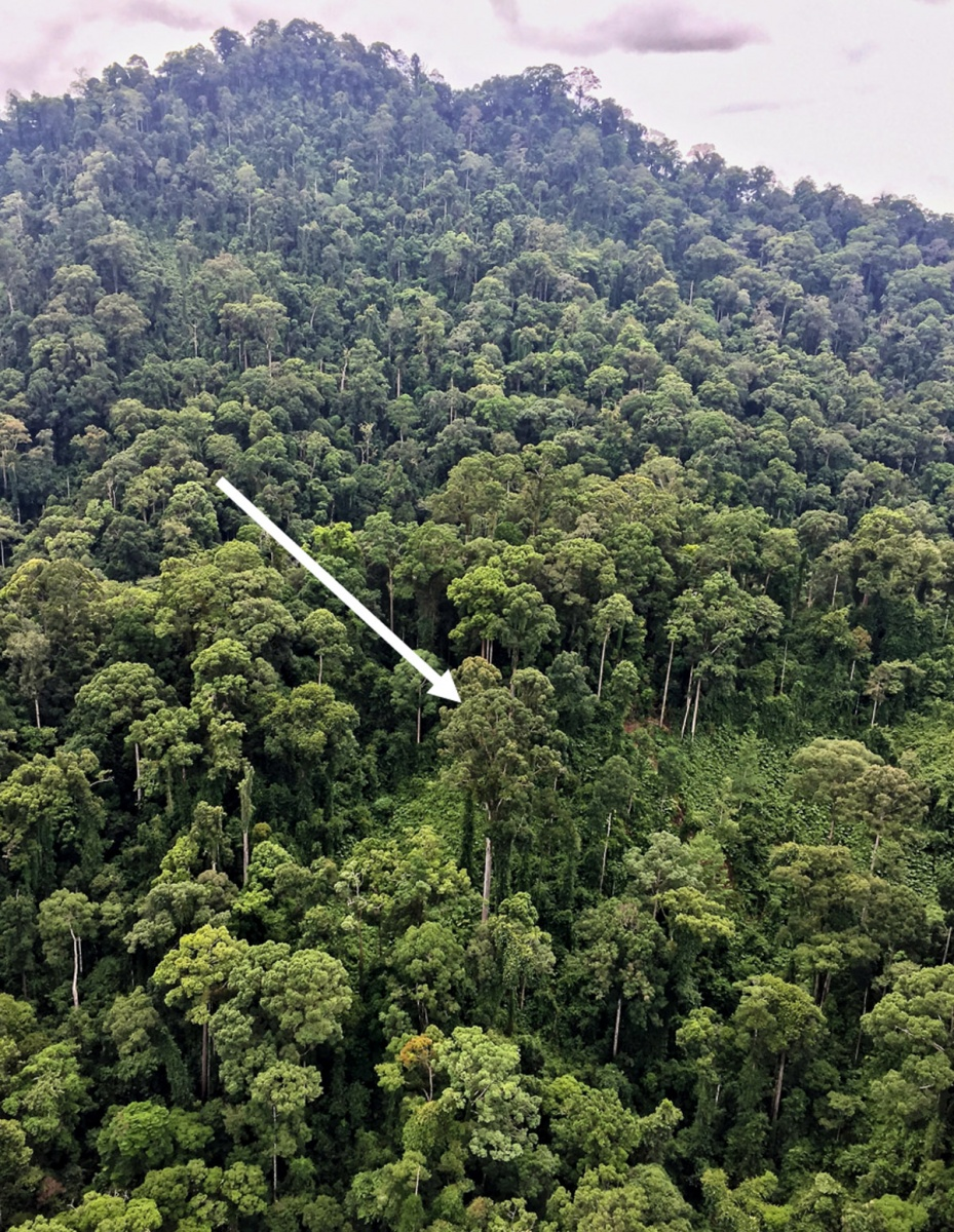 world's tallest tree