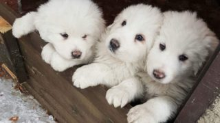 Italy avalanche puppies