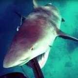 speargun shark video