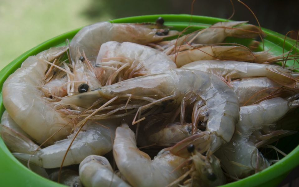 Green prawn imports banned due to white spot disease