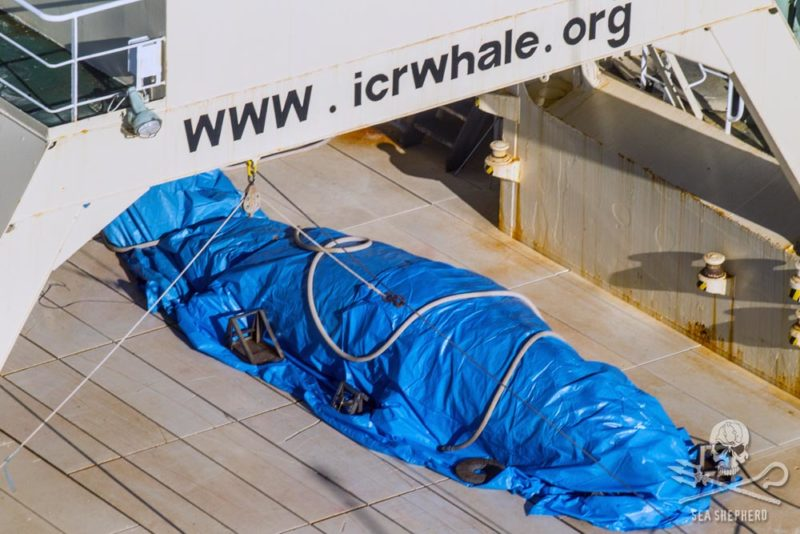 Sea Shepherd activists say the whale was quickly covered with a tarp. Photo: Sea Shepherd