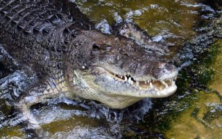 crocodile attack northern territory