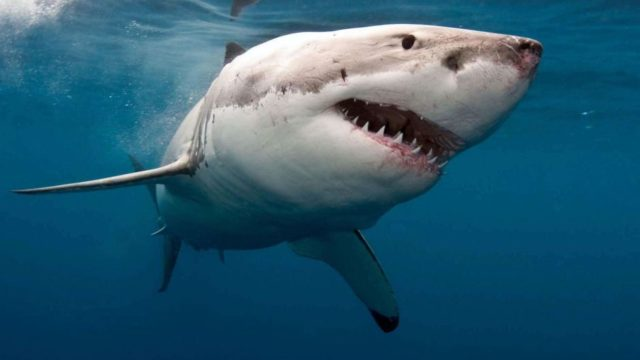 Shark-repellant bands promise to steer away sharks, but do they work?