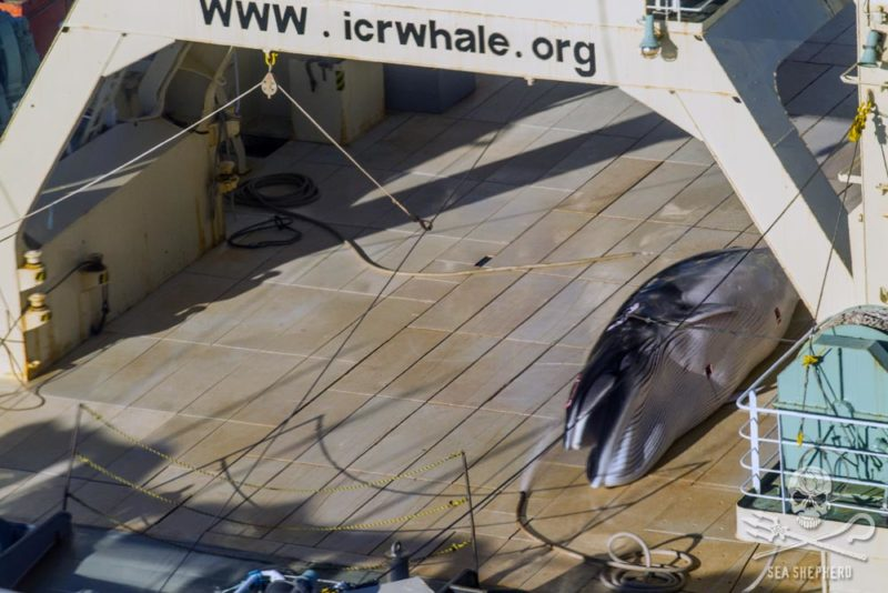 The government has been urged to do more to stop whaling. Photo: Sea Shepherd