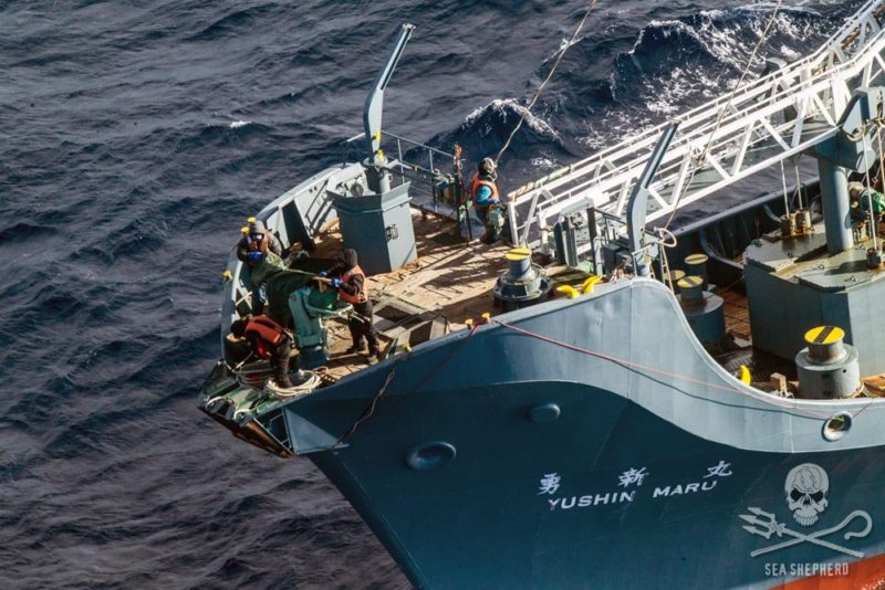 Japan says its whaling program is for scientific purposes. Photo: Sea Shepherd