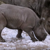 Rhino sees snow for first time