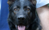 police dog Waco dies heat stress