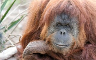 Karta the orangutan