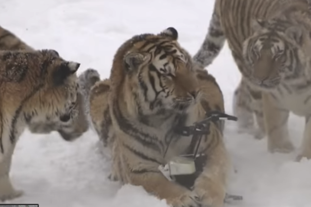 Siberian tigers chase drone