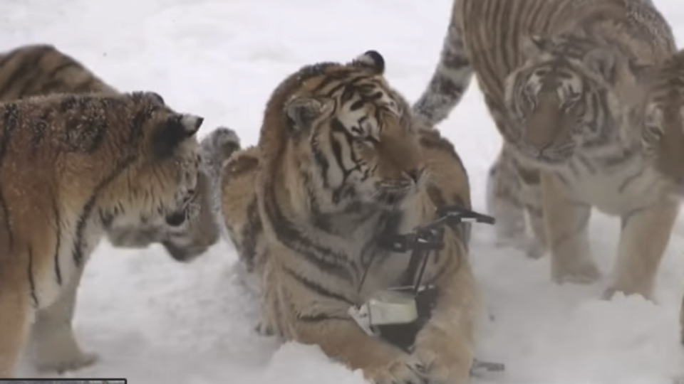 Siberian tigers bring down and play with drone