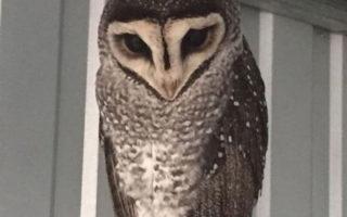 Sooty-owl-Oscar