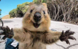 quokka pictures goes viral