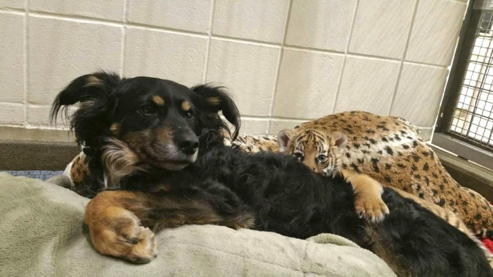 Dog tiger cubs
