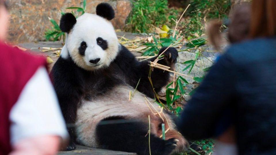 Adelaide Zoo's giant panda Fu Ni