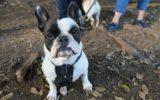 French bulldog Zella