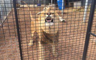 Lion snarls at photographer